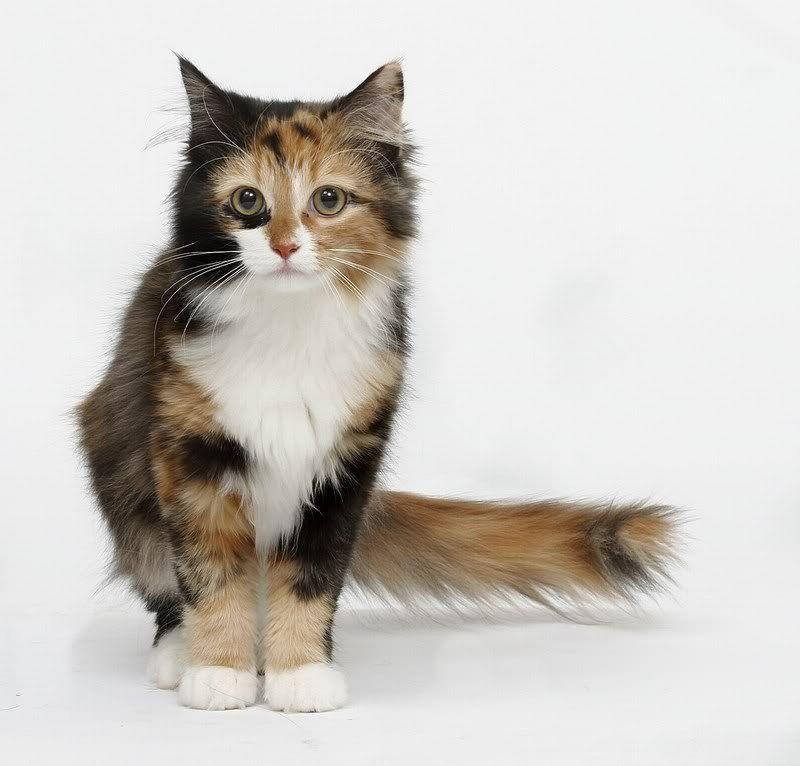 Blackshadow Basic Information Polychromatic Ragamuffin Cat Calico Cat Personality Warrior Cats Series