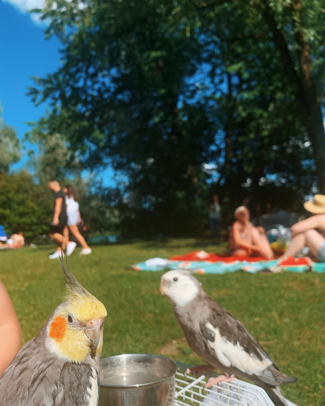 """Flappy and Penita on Instagram: """"🌤 we went for a walk yesterday, what did you do?👋😊🥰✌🏼😋#sunnyday #park #happyday #sun #weareflappyandpenita #parrotslife #parrotslover…"""""""
