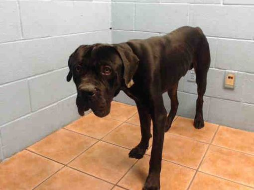 Downey Ca Cane Corso Meet Ace A Pet For Adoption Dogs Pet
