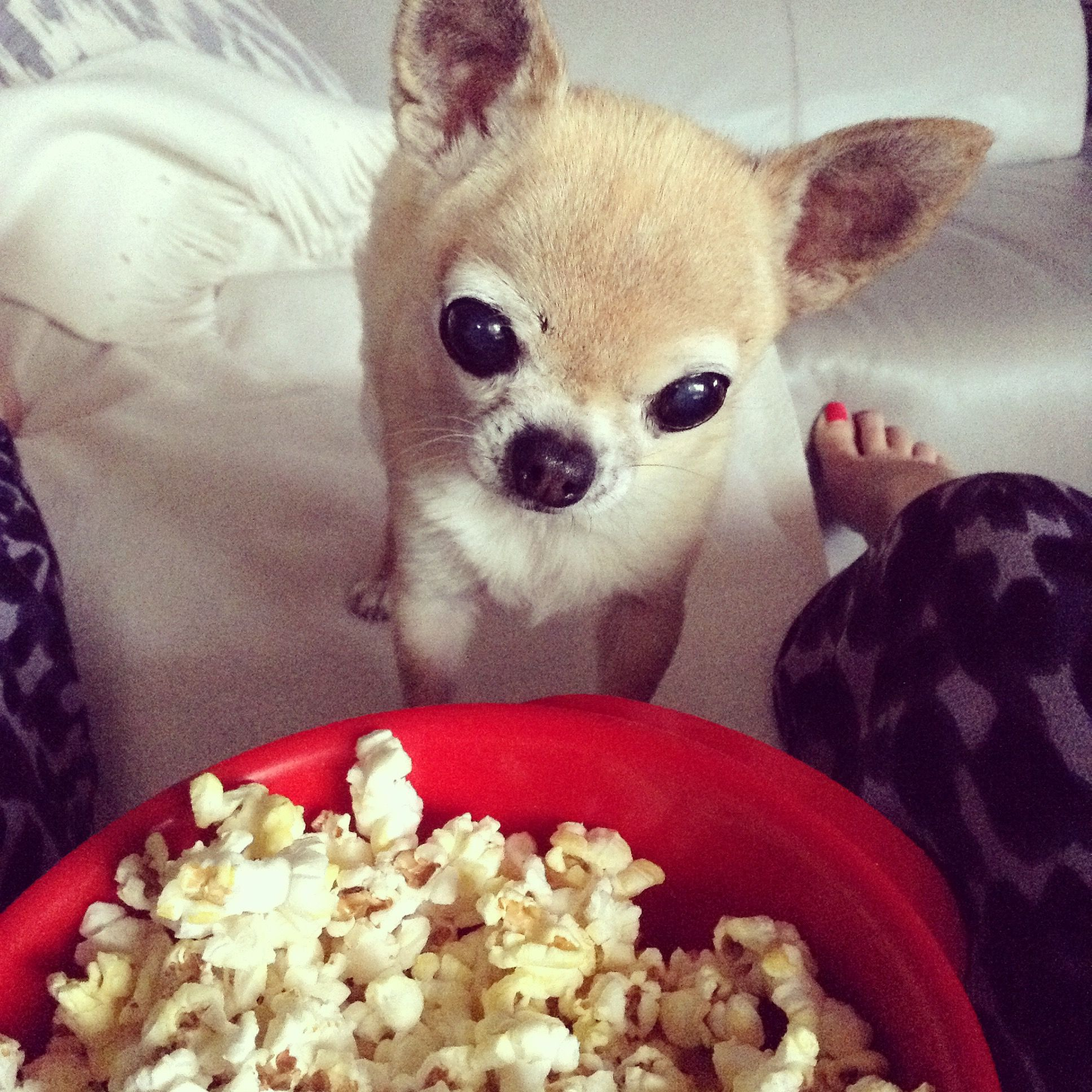 Mmm Pupcorn Furry Friends Cute Chihuahua Chihuahua Dogs