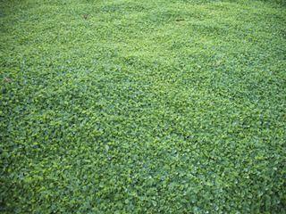 dichondra repens couvre sol pour massif de l 39 entr e home pinterest couvre sol couvre et. Black Bedroom Furniture Sets. Home Design Ideas