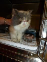 Adopt Jazz On Petfinder Persian Cat Lake Charles Cats