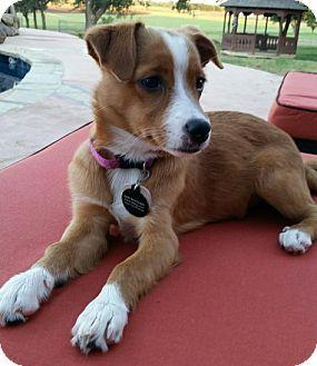 Lawton Ok Swedish Vallhund Mix Meet Julia A Dog For Adoption With Images Kitten Adoption Swedish Vallhund Dog Adoption