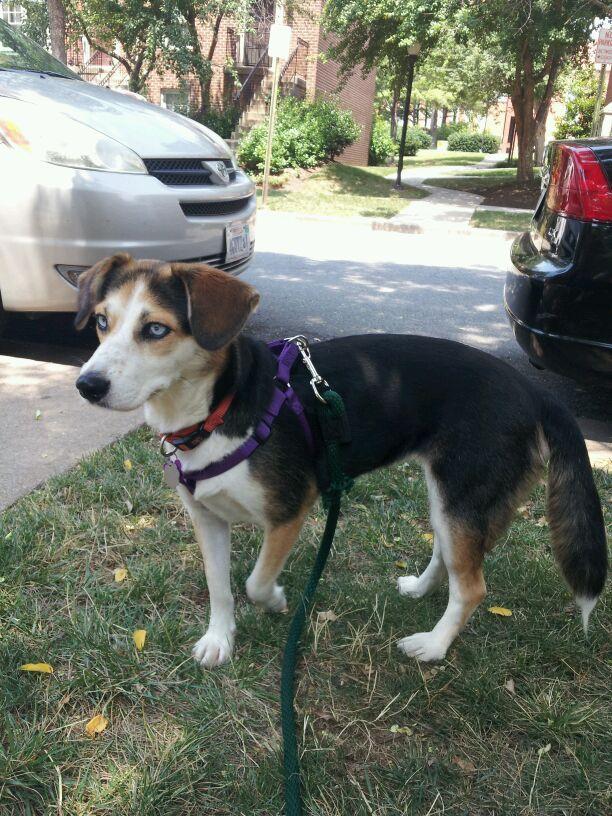 My Beagle Husky Puppy I Adopted 2 Weeks Ago Beagle Puppy Beagle