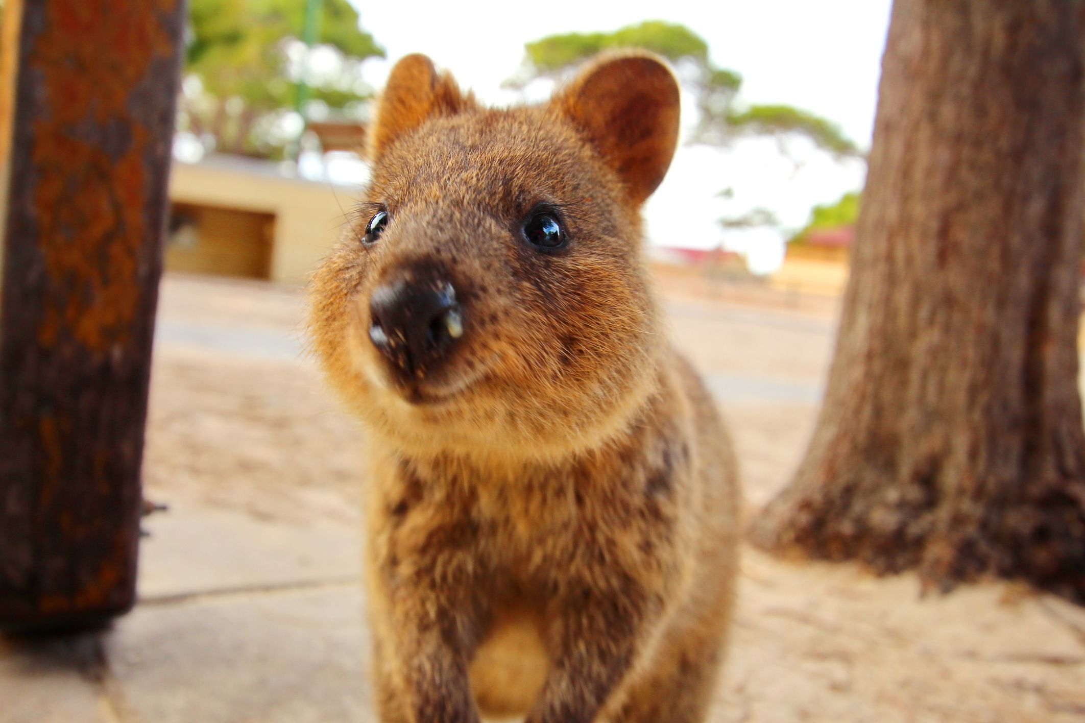 The Quokkas Of Rottnest Are So Friendly Some Have Even Been Known To Pose For A Selfie With Visitors Choose A Guided T Quokka Happy Animals Animals