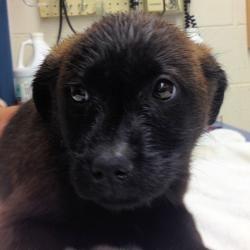 Miley Is An Adoptable Labrador Retriever Puppy Dog In Eauclaire Wisconsin Labrador Retriever Labrador Retriever Puppies Dogs And Puppies