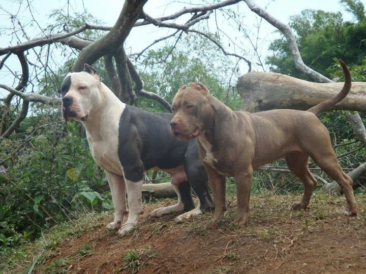 American Bully Xl Jack And American Pitbull Maisha Dogs Pitbull Terrier Dog Breeds