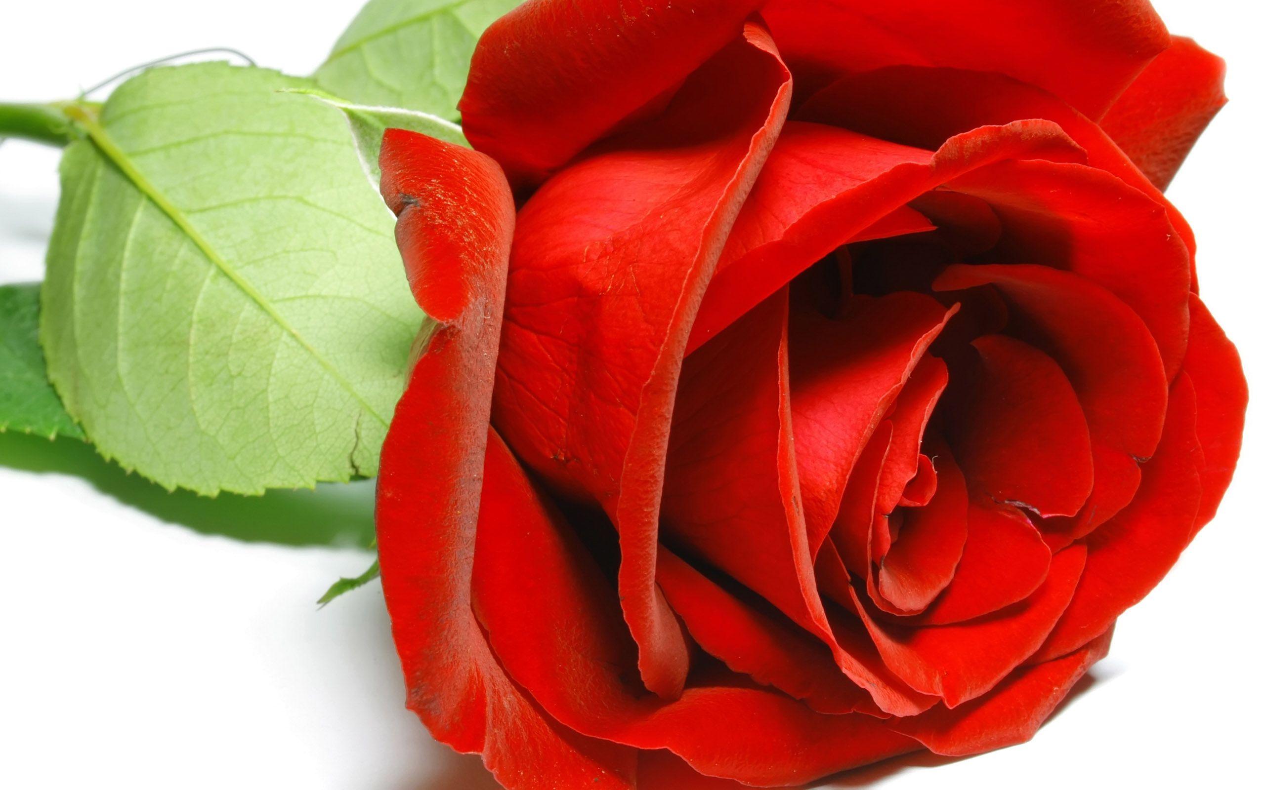 Pin by Ovidiu Drobotă on WallPapers Rose flower