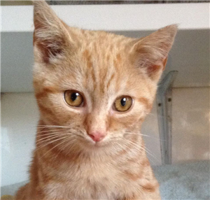 This Gorgeous Ginger Kitten Is Called Twix And He Is Approx 12