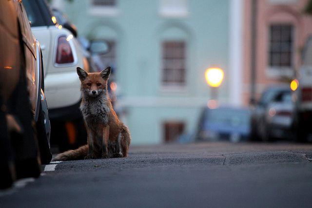 Urban Fox Red Fox Vulpes Vulpes Mytumblr Fox Pet Fox Cute Fox