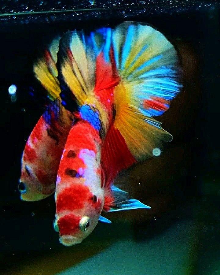 Pin oleh M.Fuad Arifin di candy Nemo & Emerald   Ikan ...