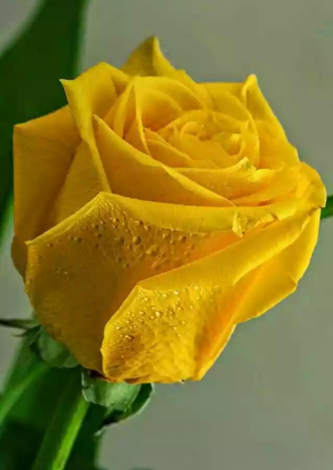 yellow love rose - 736×1037