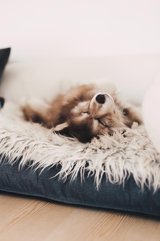 Yorkshire Terrier Hunde123