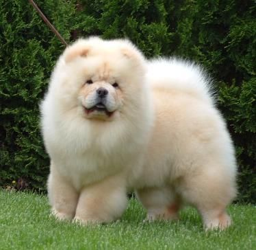 White Cream Chow Chow Puppy White Cream Chow Chow Puppy 5