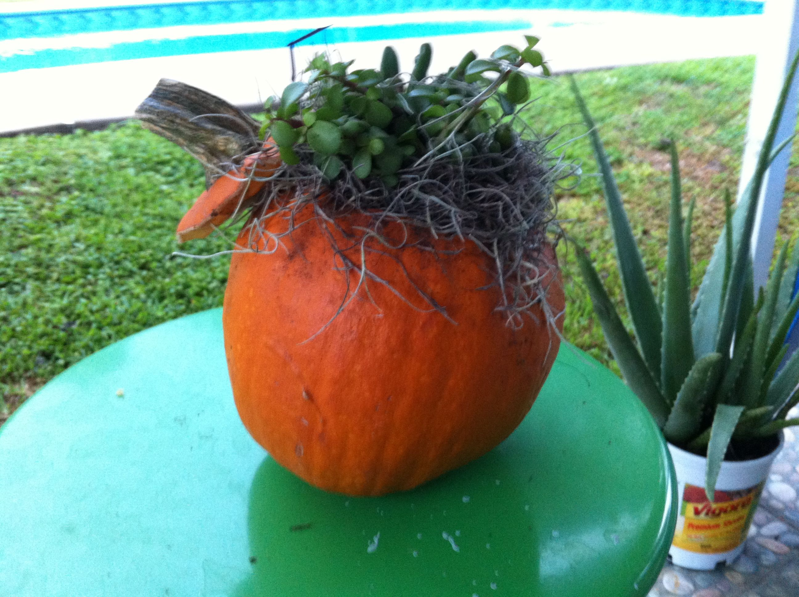 Rocks In Spanish Part - 19: So I Bought A Pumpkin From Walmart Hollowed It Put Some Rocks In The Bottom  Filled With Dirt And Stuck Cacti In It Covered In Spanish Moss, Its Doing  Great ...