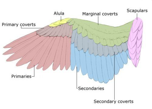 Wing Diagram Cosplay Refrence Pinterest Wings Bird Wings And