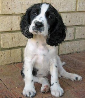 Sweet Spaniel Mix English Springer Spaniel Dogs Spaniel Puppies
