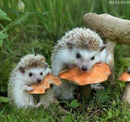 Cute hedgehogs eating mushrooms | Cute animals, Animals, Animals beautiful