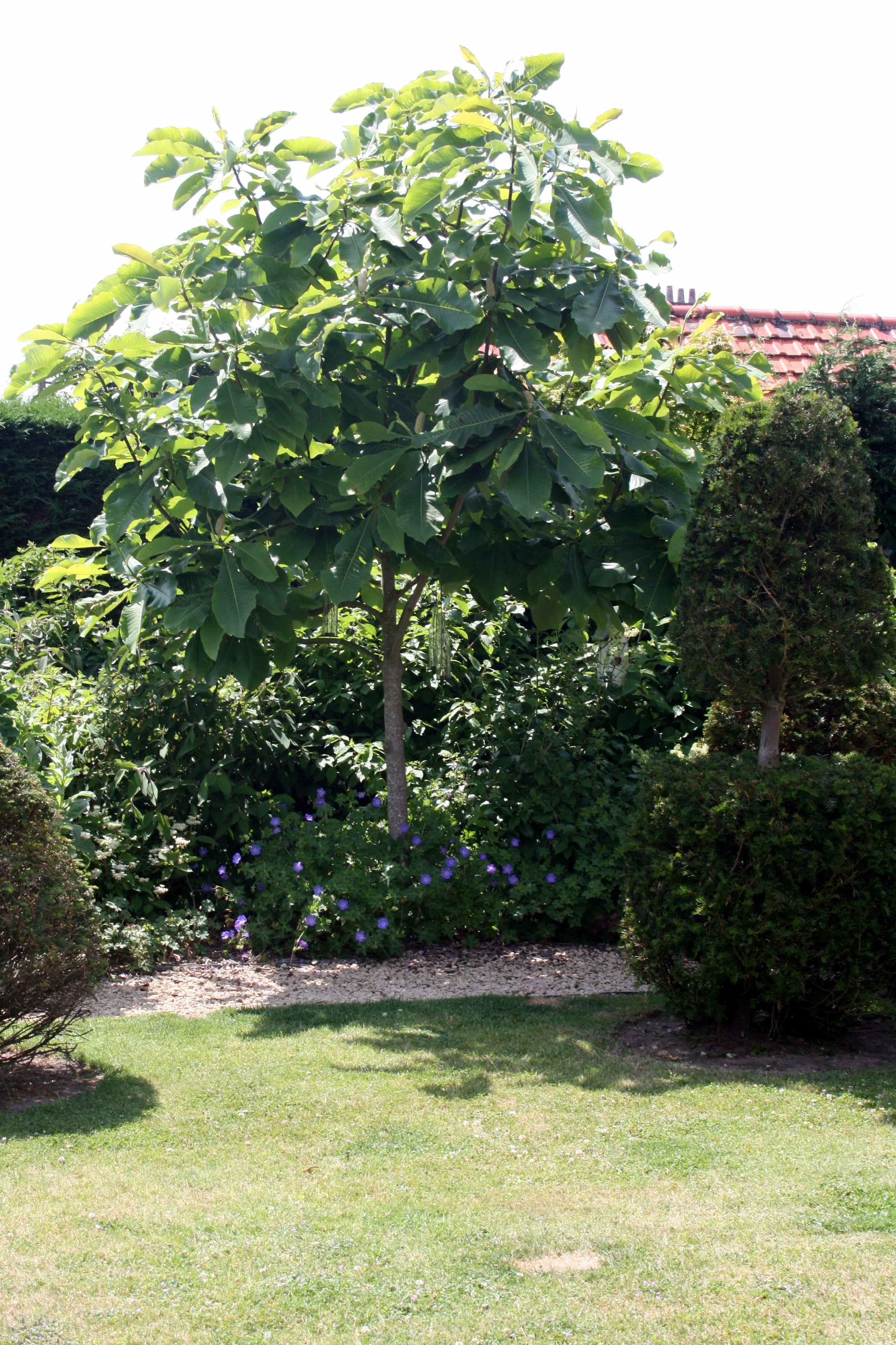 Feigenbaum / Gartenreise Belgien / Holland | Pflanzen | Pinterest ... Bonsai Baum Dekoidee Indoor Garten