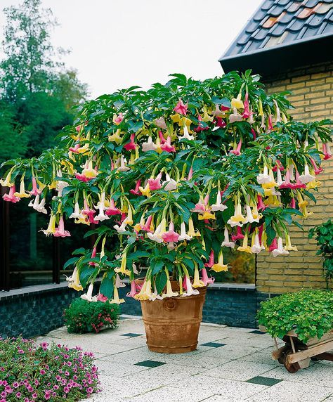 brugmansia 39 tricolor 39 for the gardens pinterest fleurs planter des fleurs and arbustes. Black Bedroom Furniture Sets. Home Design Ideas