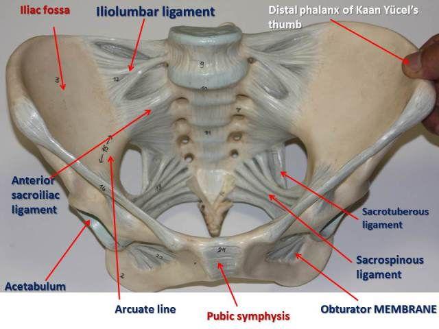 29++ The pelvis anterior view ideas in 2021