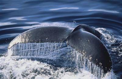 whale fluke - Google Search