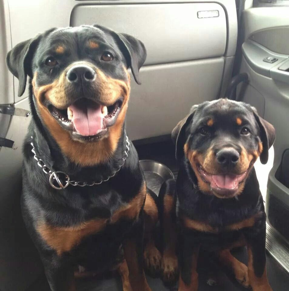 My Baby Just Loves A Car Ride Dogs Pets Rottweilers Puppies Facebook Com Sodoggonefunny Bonding Friendships Rottweiler Dog Puppy Rottweiler Rottw