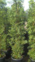 Podocarpus Gracilior 15 Gallon Hedge Tree For