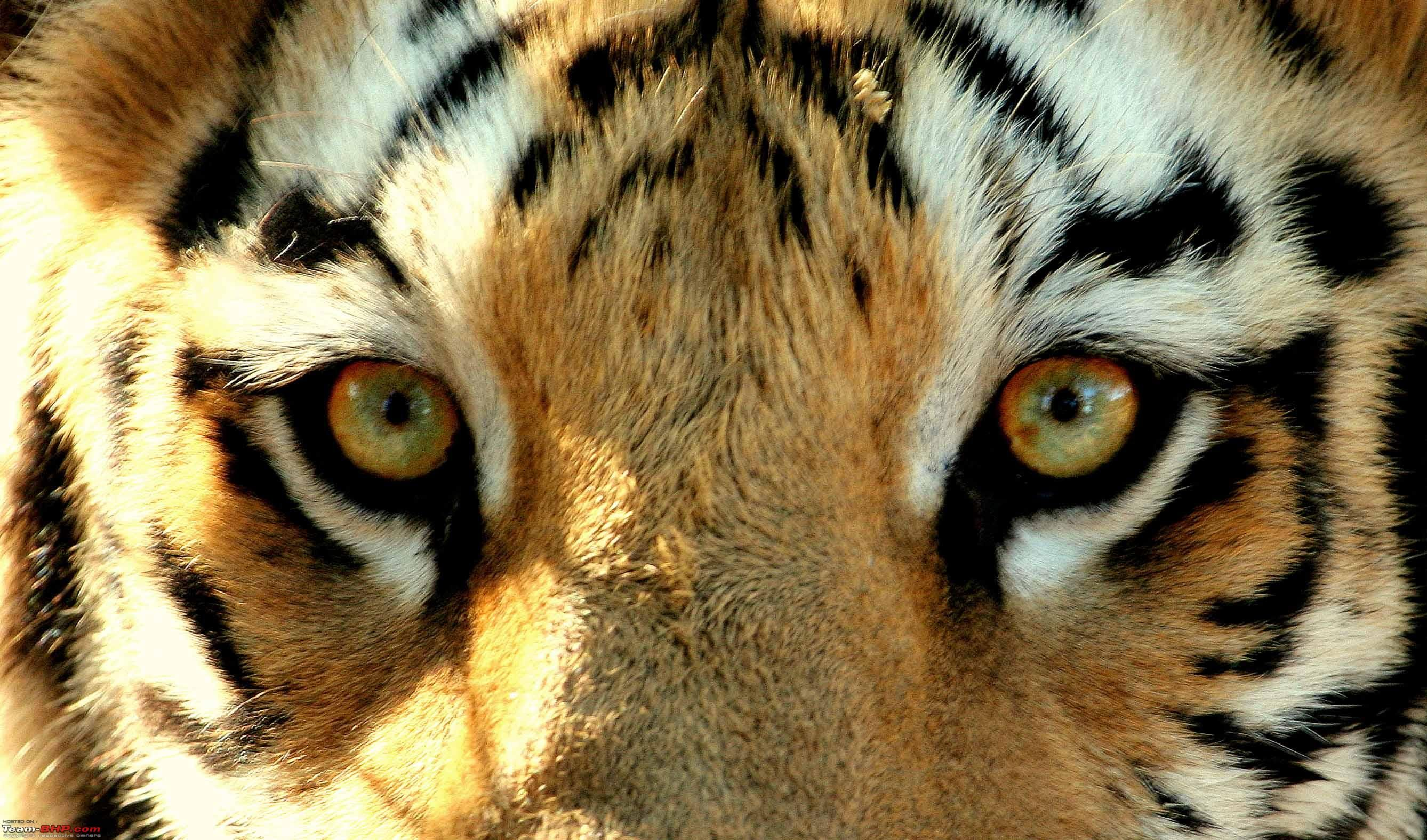 tiger eyes | ... -can-assure-you-tiger-thats-fun-team-bhp ...