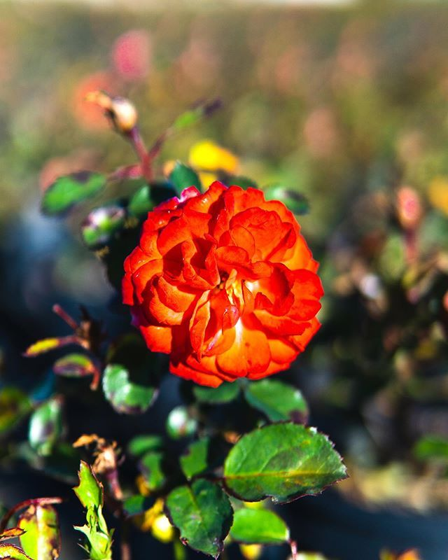 Roses are red  or pink  or yellow  or sometimes orange  like this Coral Drift Rose that we love  The best thing about roses is that you get to choose whichever color your...