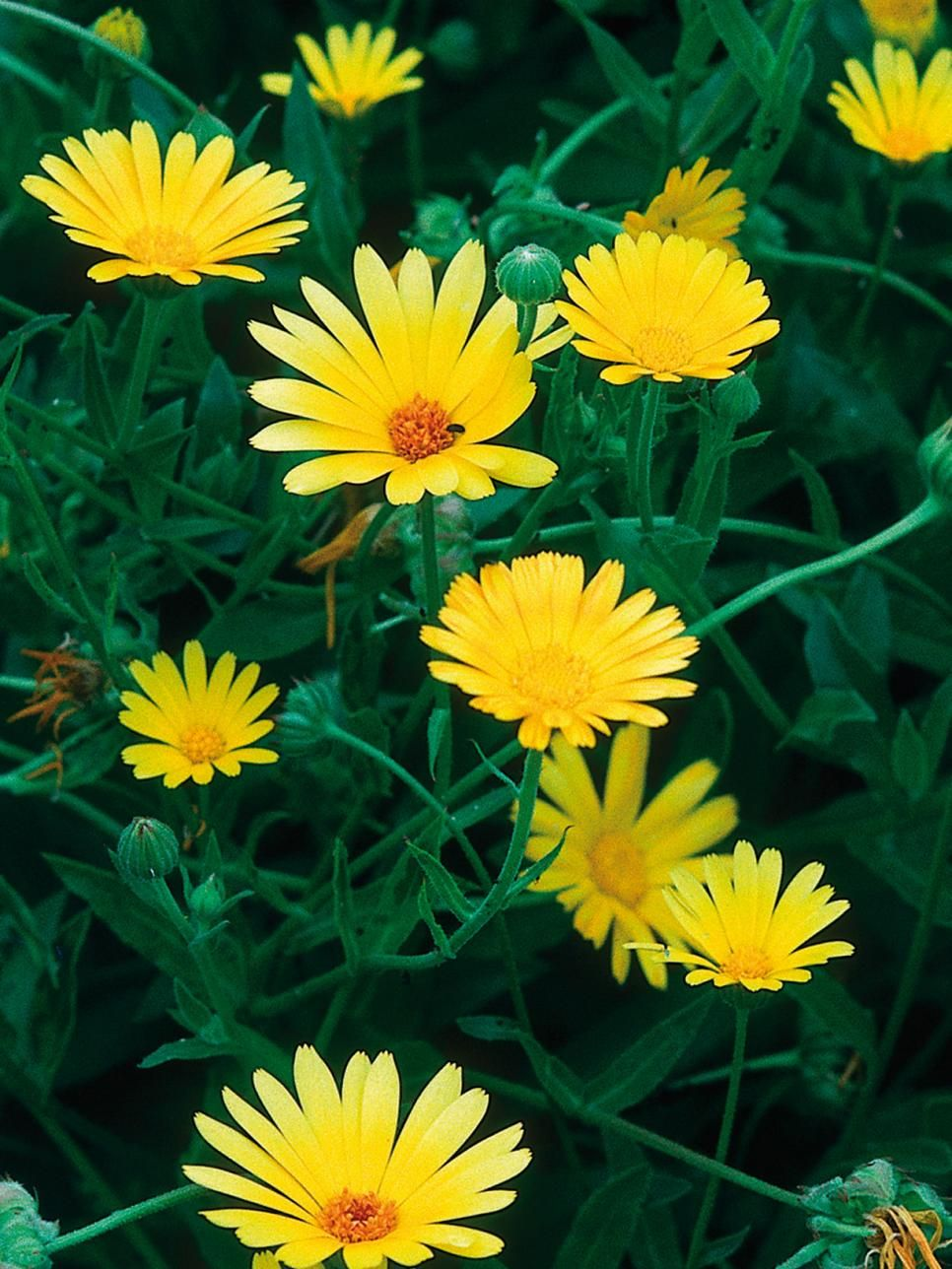 Best yellow annual flowers for your garden izmirmasajfo Image collections