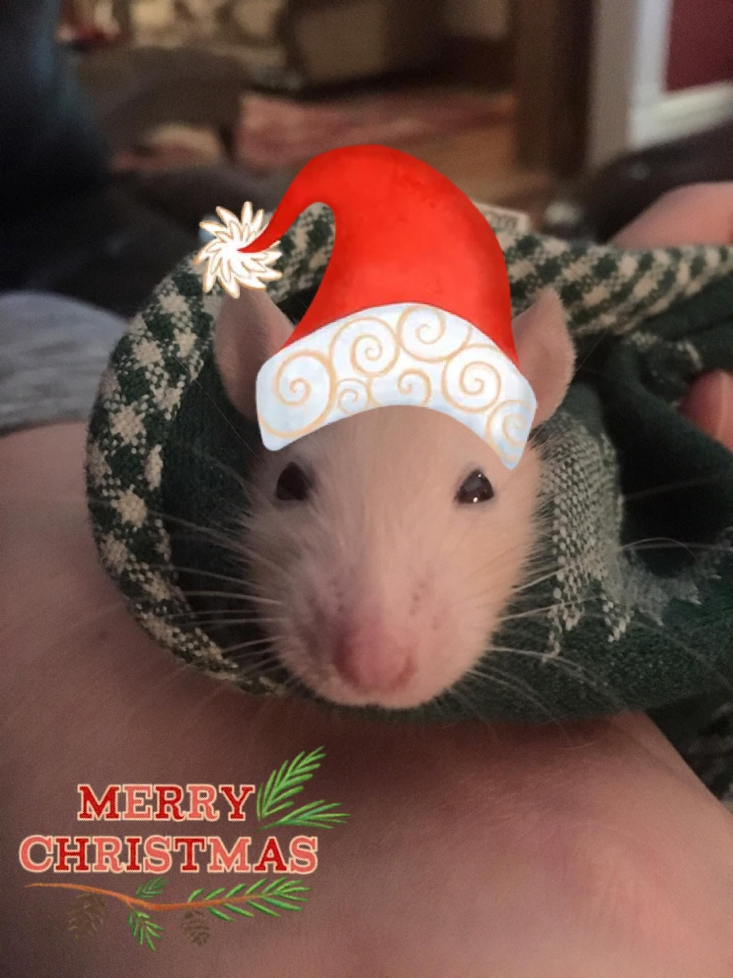 My baby rat-Cookie (born around the holidays. He's such a snuggler, loves being wrapped up like a burrito.