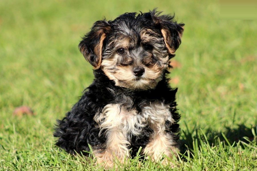 Healthy Pups Yorkie Poo Puppies Welcome To Healthy Pups
