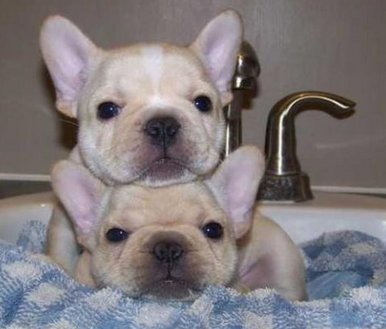 Pin By Melissa Mendez On Frenchies French Bulldog Puppies Cute French Bulldog Frenchie Puppy