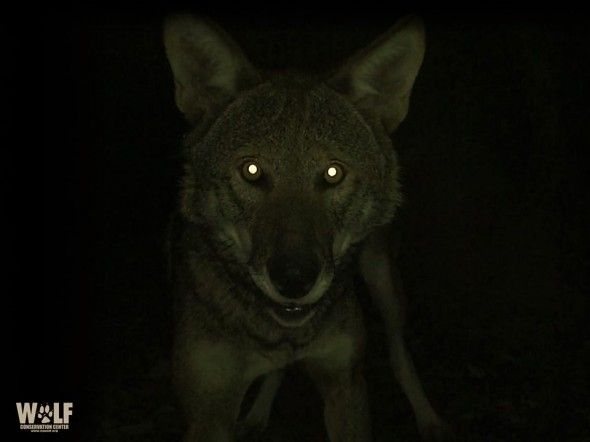 Dogs Eyes Glow In Pictures