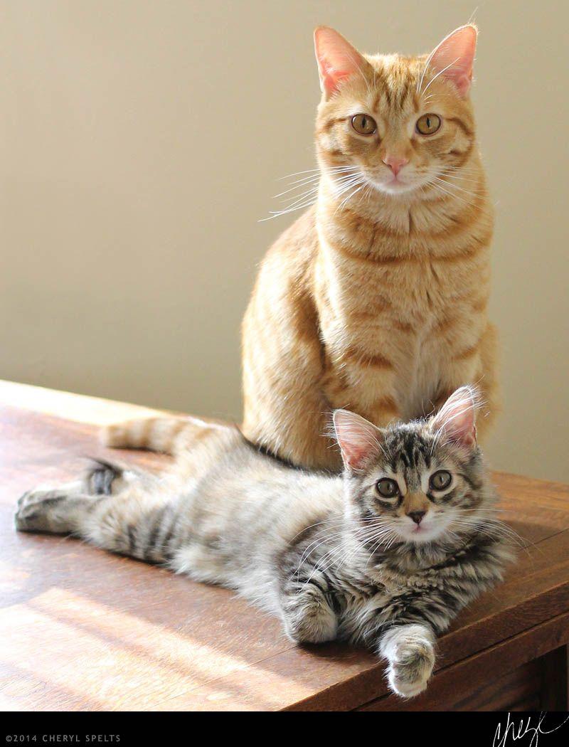 Orange cat and grey striped kitten //