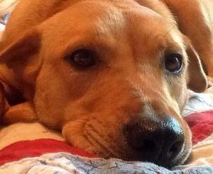 Adopt Daisy On Puppies Mastador Puppies Labrador Retriever Dog
