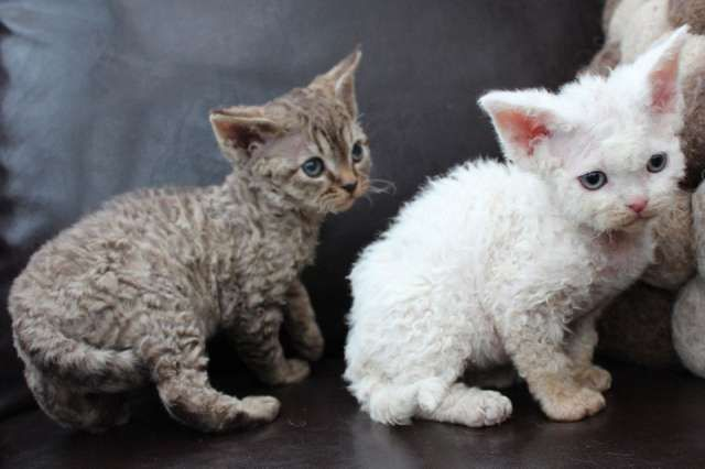 Best 20 Devon Rex Cat Pictures Kittens Photo And Kitty Images