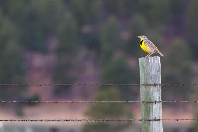 Western Meadowlark - #Bird #Photography