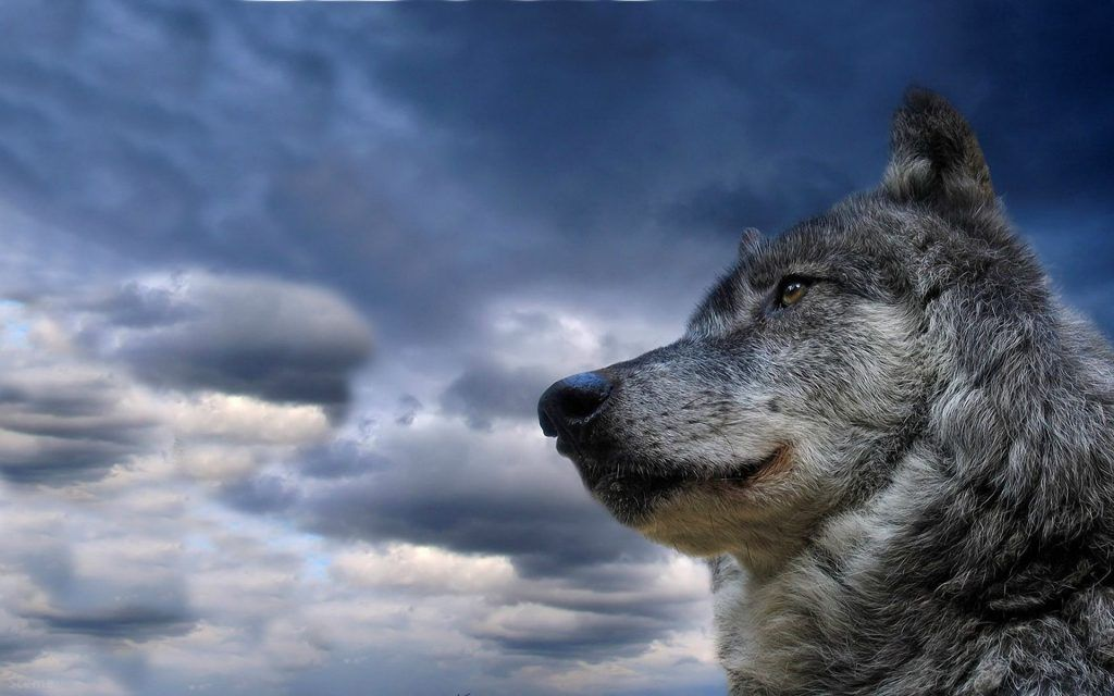 Lone Wolf Wallpaper 50 Full Hd New Pictures With Images