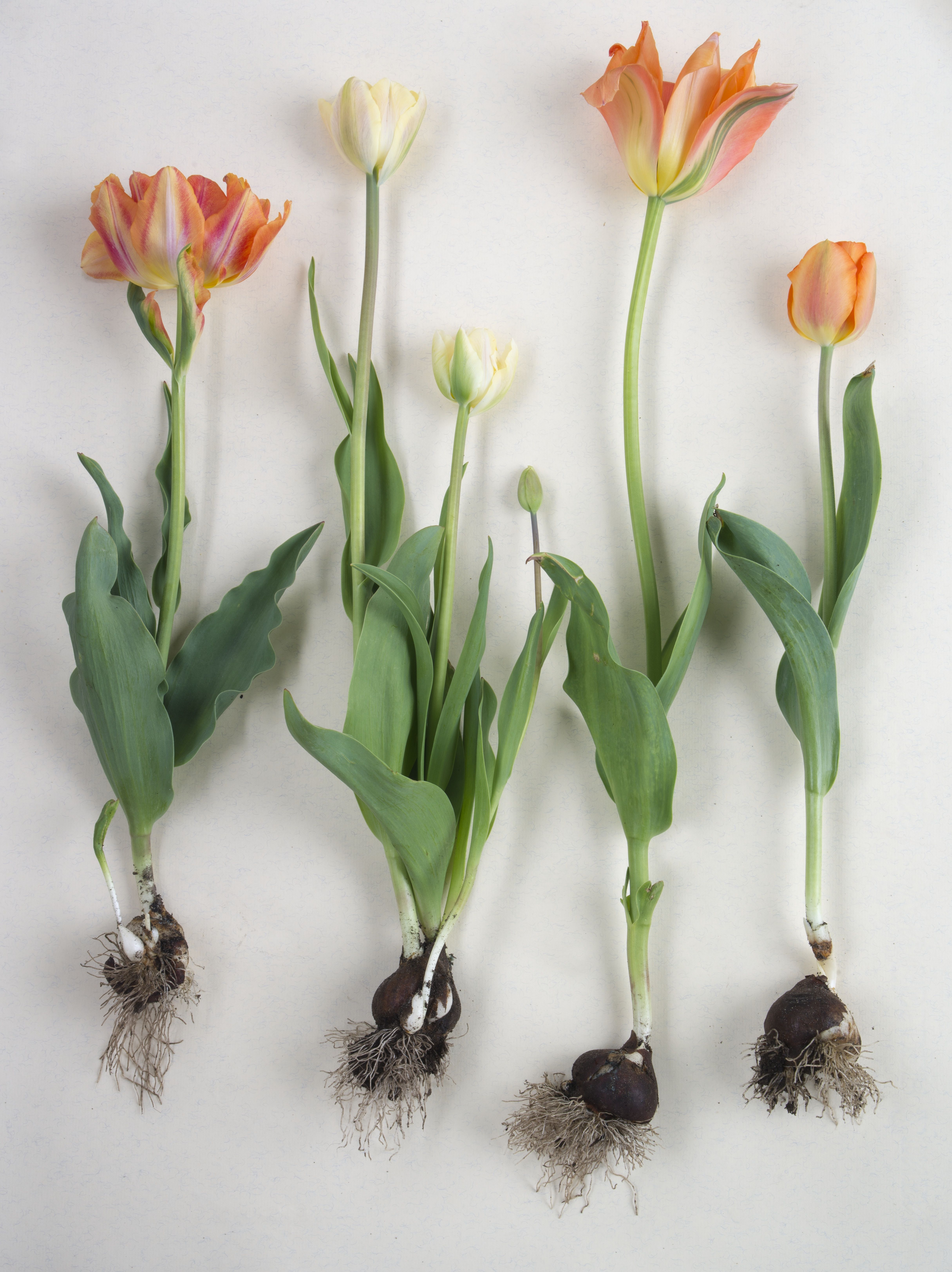 tulipa givenchy vanilla cream lily fire and lighting sun