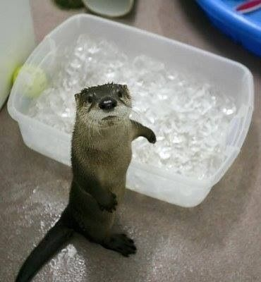 Otter ... Love ice cubes, drinks anyone!