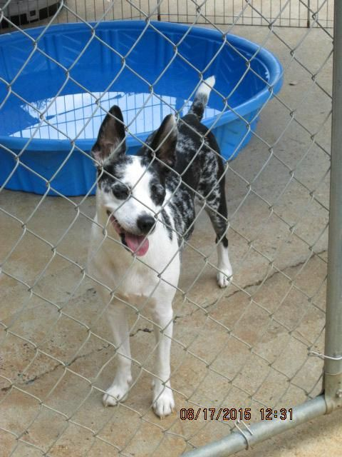 Adopt Skye On Australian Cattle Dog Blue Heeler Animal Companions Dogs