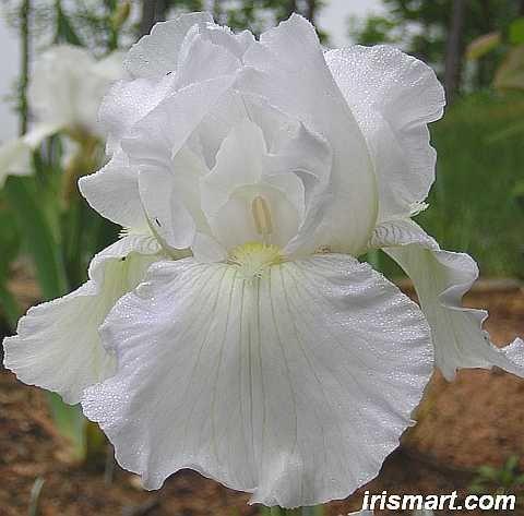 Immortality Tall Bearded Iris Iris Flowers Iris Bearded Iris