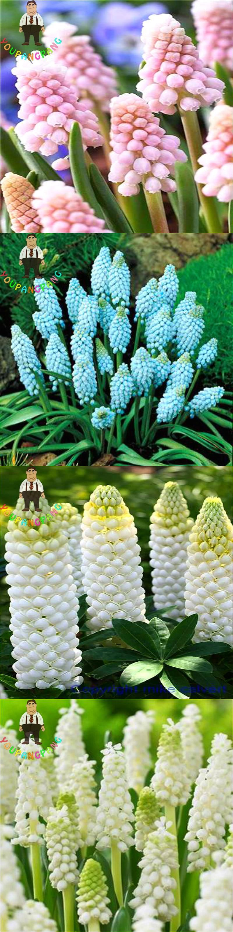100pcs/bag Hyacinth Seeds Garden Bonsai Flower Seeds New Hydroponic ...