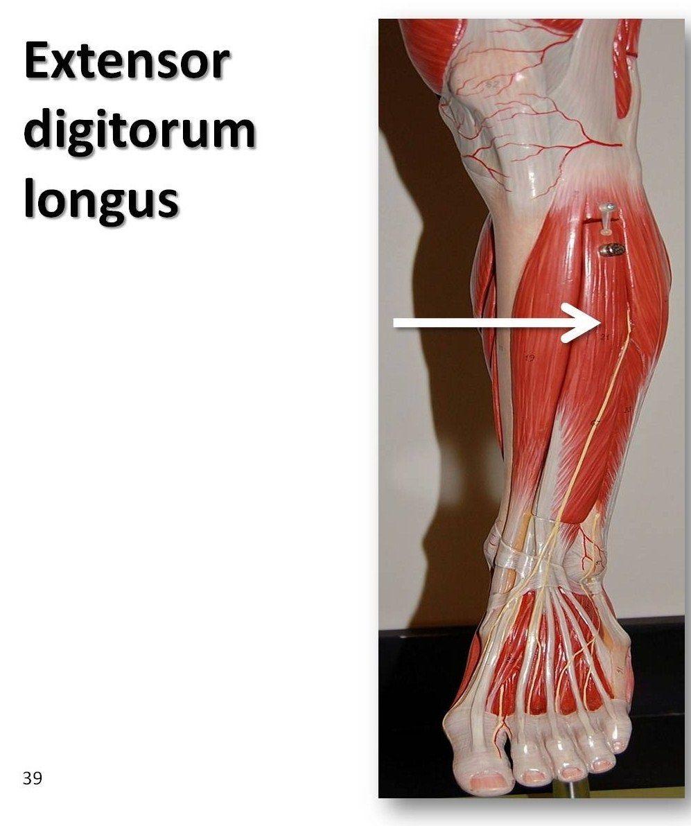 Extensor Digitorum Longus Anterior Lateral To Tibialis Anterior