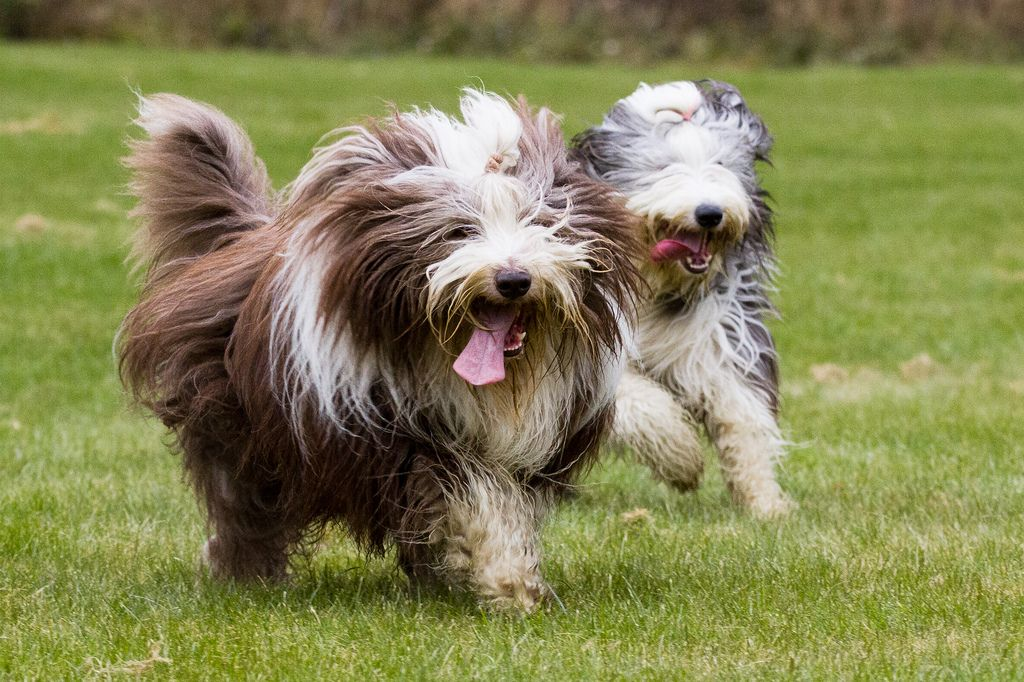10 Of The Most Expensive Purebred Dogs Bearded Collie Expensive