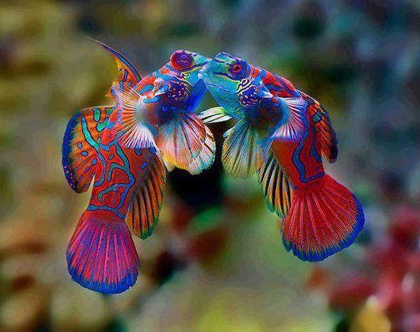 Mandarin fish- undecribable beauty and color   Ocean   Pinterest ...