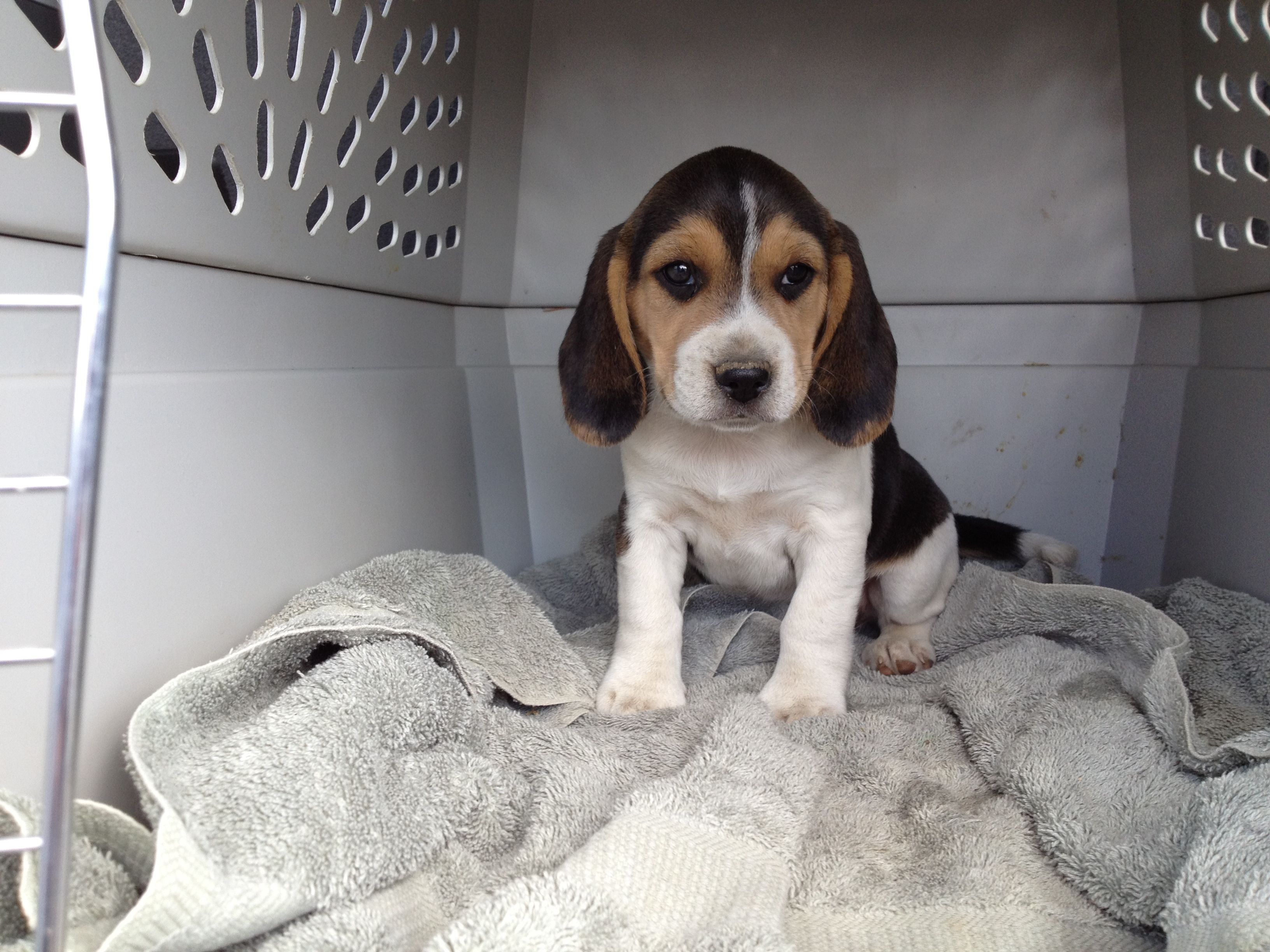 Shadow At 6 Weeks Old Going To Her Forever Home 3 Beagle