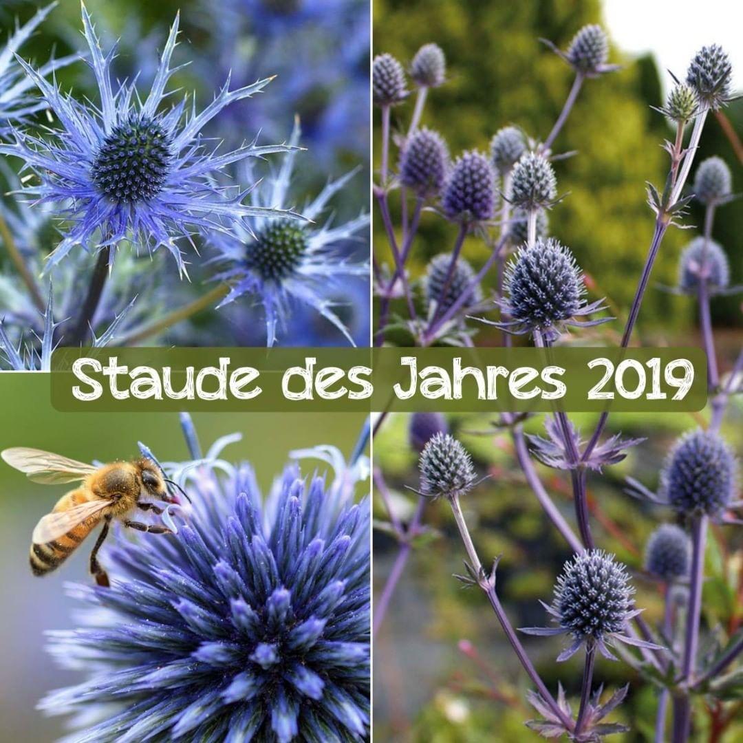 Wir Gratulieren Der Distel Zum Titel Staude Des Jahres 2019 Gewahlt Vom Bund Deutscher Staudengartner Unser Favorit Die Tom Garten Pflanzen Edeldistel